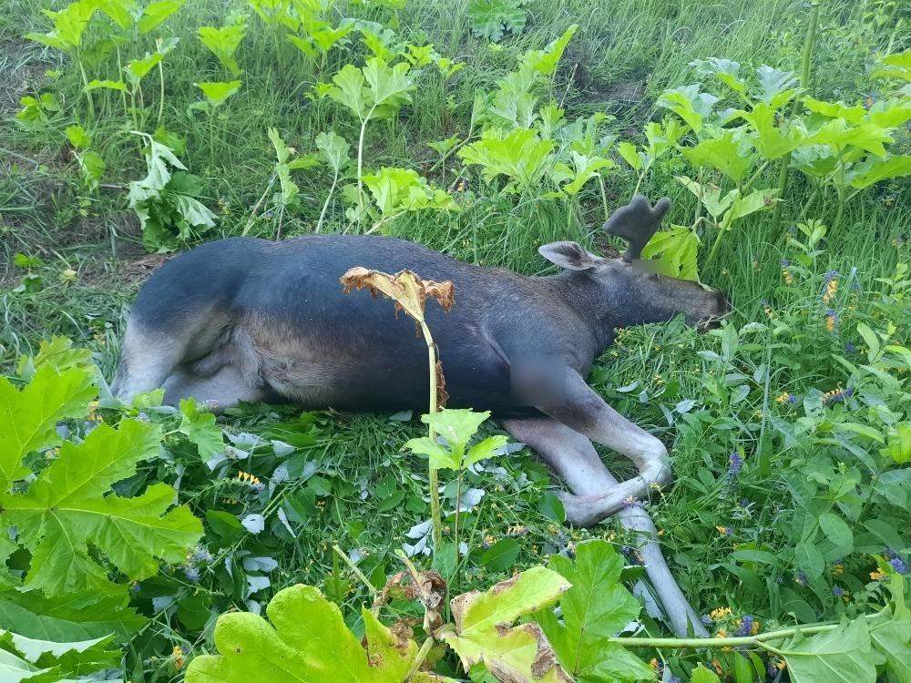 На автодороге в Кувшиновском районе машина сбила лося